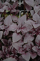Red Rubin Basil (Ocimum basilicum 'Purpurascens') at Echter's Nursery & Garden Center