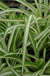 Spider Plant (Chlorophytum comosum) at Echter's Nursery & Garden Center