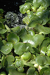 Water Hyacinth (Eichhornia crassipes) at Echter's Nursery & Garden Center