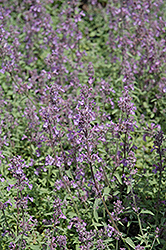 Little Trudy Catmint (Nepeta 'Psfike') at Echter's Nursery & Garden Center
