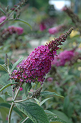 Miss Ruby Butterfly Bush (Buddleia davidii 'Miss Ruby') at Echter's Nursery & Garden Center