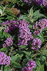 Lo And Behold® Purple Haze Dwarf Butterfly Bush (Buddleia 'Lo And Behold Purple Haze') at Echter's Nursery & Garden Center