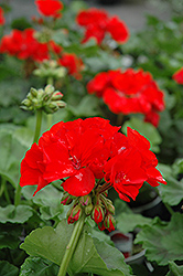 Rocky Mountain Red Geranium (Pelargonium 'Rocky Mountain Red') at Echter's Nursery & Garden Center