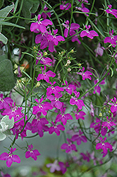 Techno Heat Violet Lobelia (Lobelia erinus 'Techno Heat Violet') at Echter's Nursery & Garden Center