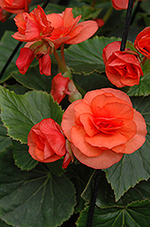 Solenia® Orange Begonia (Begonia 'Solenia Orange') at Echter's Nursery & Garden Center