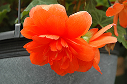 Nonstop® Orange Begonia (Begonia 'Nonstop Orange') at Echter's Nursery & Garden Center