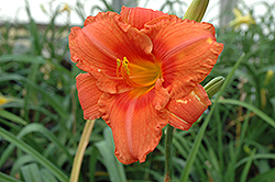 South Seas Daylily (Hemerocallis 'South Seas') at Echter's Nursery & Garden Center