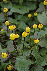 Para Cress (Spilanthes oleracea) at Echter's Nursery & Garden Center