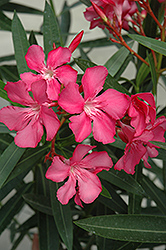 Oleander (Nerium oleander) at Echter's Nursery & Garden Center