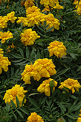 Durango Yellow Marigold (Tagetes patula 'Durango Yellow') at Echter's Nursery & Garden Center