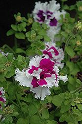 Pirouette Purple Petunia (Petunia 'Pirouette Purple') at Echter's Nursery & Garden Center