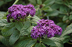 Garden Heliotrope (Heliotropium arborescens) at Echter's Nursery & Garden Center