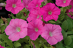 Wave Pink Petunia (Petunia 'Wave Pink') at Echter's Nursery & Garden Center