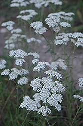 Common Yarrow (Achillea millefolium) at Echter's Nursery & Garden Center