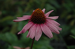 Primadonna Deep Rose Coneflower (Echinacea purpurea 'Primadonna Deep Rose') at Echter's Nursery & Garden Center