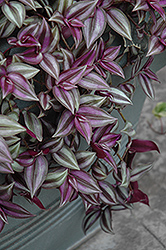 Wandering Jew (Tradescantia zebrina) at Echter's Nursery & Garden Center