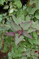 Tricolor Sweet Potato Vine (Ipomoea batatas 'Tricolor') at Echter's Nursery & Garden Center