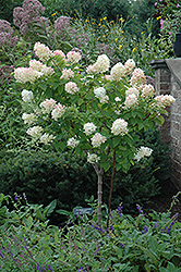Limelight Hydrangea (tree form) (Hydrangea paniculata 'Limelight (tree form)') at Echter's Nursery & Garden Center
