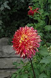 Myrtle's Folly Dahlia (Dahlia 'Myrtle's Folly') at Echter's Nursery & Garden Center