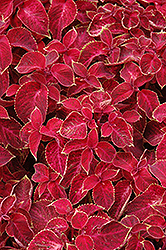 Wizard Velvet Red Coleus (Solenostemon scutellarioides 'Wizard Velvet Red') at Echter's Nursery & Garden Center