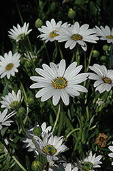Avalanche African Daisy (Osteospermum 'Avalanche') at Echter's Nursery & Garden Center