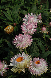 Dreamtime Jumbo Light Pink Strawflower (Bracteantha bracteata 'Dreamtime Jumbo Light Pink') at Echter's Nursery & Garden Center