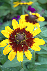 Sonora Coneflower (Rudbeckia hirta 'Sonora') at Echter's Nursery & Garden Center