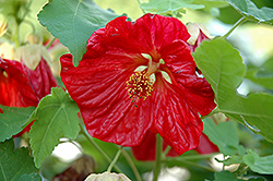 Bella Red Flowering Maple (Abutilon 'Bella Red') at Echter's Nursery & Garden Center