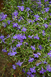 Techno® Heat Blue Lobelia (Lobelia erinus 'Techno Heat Blue') at Echter's Nursery & Garden Center