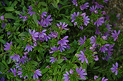 Bombay Dark Blue Fan Flower (Scaevola aemula 'Bombay Dark Blue') at Echter's Nursery & Garden Center