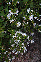 Bombay White Fan Flower (Scaevola aemula 'Bombay White') at Echter's Nursery & Garden Center