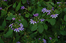 Blue Fan Fan Flower (Scaevola aemula 'Blue Fan') at Echter's Nursery & Garden Center