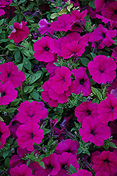 Wave Purple Petunia (Petunia 'Wave Purple') at Echter's Nursery & Garden Center
