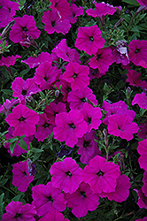 Easy Wave Violet Petunia (Petunia 'Easy Wave Violet') at Echter's Nursery & Garden Center