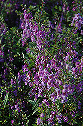 Serena Purple Angelonia (Angelonia angustifolia 'Serena Purple') at Echter's Nursery & Garden Center