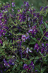 AngelMist® Spreading Purple Angelonia (Angelonia angustifolia 'AngelMist Spreading Purple') at Echter's Nursery & Garden Center