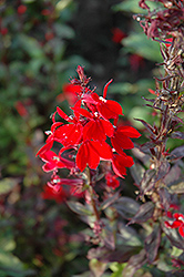 Queen Victoria Lobelia (Lobelia 'Queen Victoria') at Echter's Nursery & Garden Center