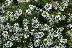 Clear Crystal White Sweet Alyssum (Lobularia maritima 'Clear Crystal White') at Echter's Nursery & Garden Center