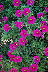 Aloha Neon Calibrachoa (Calibrachoa 'Aloha Neon') at Echter's Nursery & Garden Center