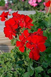Calliope® Scarlet Fire Geranium (Pelargonium 'Calliope Scarlet Fire') at Echter's Nursery & Garden Center