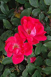 Red Knock Out Rose (Rosa 'Red Knock Out') at Echter's Nursery & Garden Center
