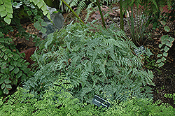 Rabbit's Foot Fern (Davallia fejeensis) at Echter's Nursery & Garden Center