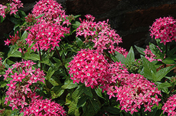 Graffiti® Rose Star Flower (Pentas lanceolata 'Graffiti Rose') at Echter's Nursery & Garden Center