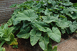 Elephant's Ear (Caladium colocasia) at Echter's Nursery & Garden Center
