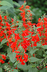 Lady In Red Sage (Salvia coccinea 'Lady In Red') at Echter's Nursery & Garden Center