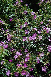 Purple False Heather (Cuphea hyssopifolia 'Purple') at Echter's Nursery & Garden Center