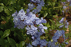 Cape Plumbago (Plumbago auriculata) at Echter's Nursery & Garden Center