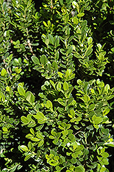 Baby Gem™ Boxwood (Buxus microphylla 'Gregem') at Echter's Nursery & Garden Center