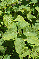 Ginger Mint (Mentha x gracilis) at Echter's Nursery & Garden Center
