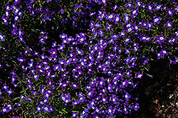 Blue with Eye Palace Lobelia (Lobelia erinus 'Blue with Eye Palace') at Echter's Nursery & Garden Center